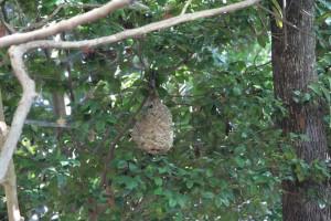 公園内にスズメバチの巣を発見