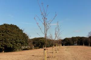 森と広場ゾーン 河津桜
