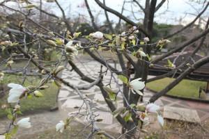 市民ふれあい公園 コブシの花