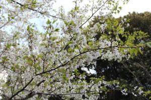 早咲きのオオシマザクラ 満開