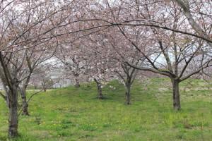 大堀第1号公園 (桜のトンネル)