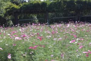 市民ふれあい公園 花壇 コスモス
