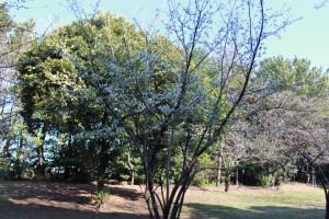 1番早咲きのオオシマザクラ