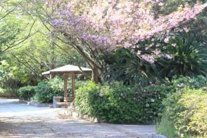 八重桜の下にツツジの花の芽が